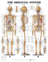 CHART LAMINATED ANATOMICAL SKELETAL SYSTEM 51cm x 66cm MT-SKELSL