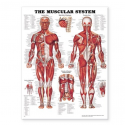 CHART LAMINATED ANATOMICAL MUSCLE 51cm x 66cm MT-MUSCSL